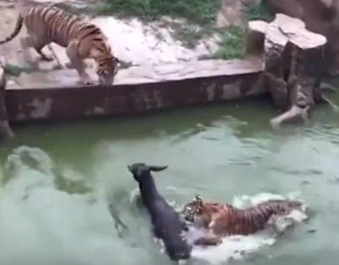 Ukrutné VIDEO: Pracovníci ZOO poslali zviera na istú smrť, dôvod vás poriadne vytočí!