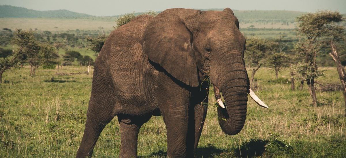Slon uprostred savany.