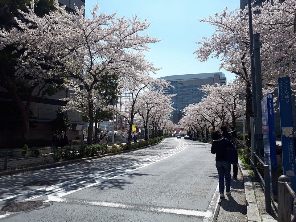 Rozkvitnuté sakury v uliciach Jokohamy