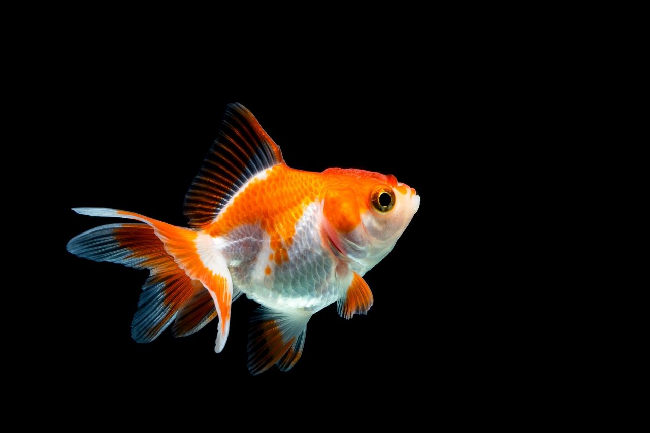 ryba pláva
