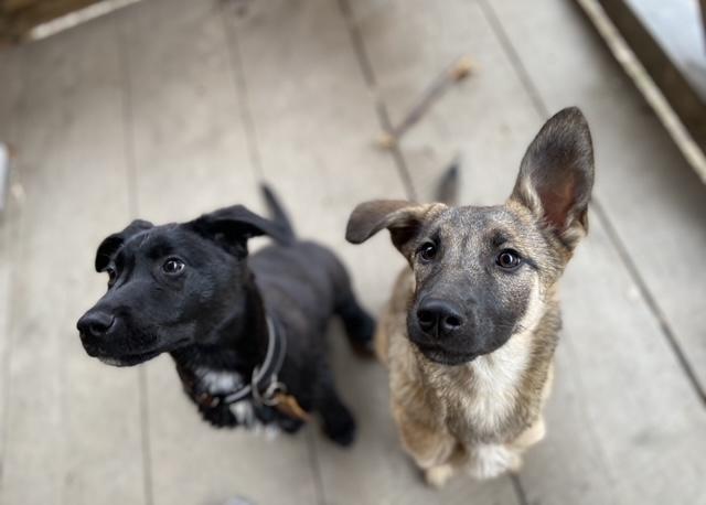dva psy