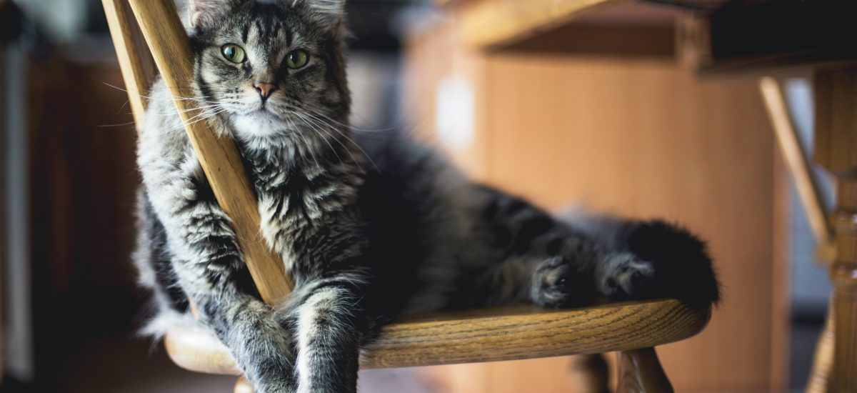 plemená mačiek